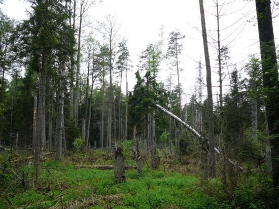 Utbrottet av granbarkborre ökade mängden död ved och öppnade luckor i skogen, vilket är till nytta för till exempel hackspettar och vedinsekter.