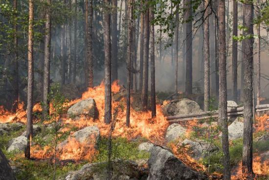 Brinnande tallskog i Ekopark Ejheden.